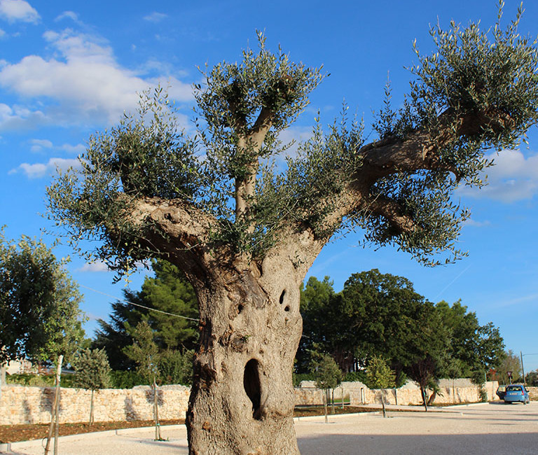 casaldelvico-viale-albero1-768x650